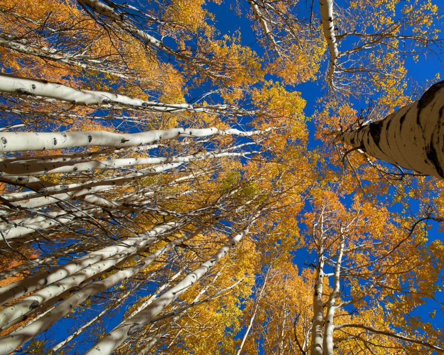 Aspens | Little Cottonwood Canyon