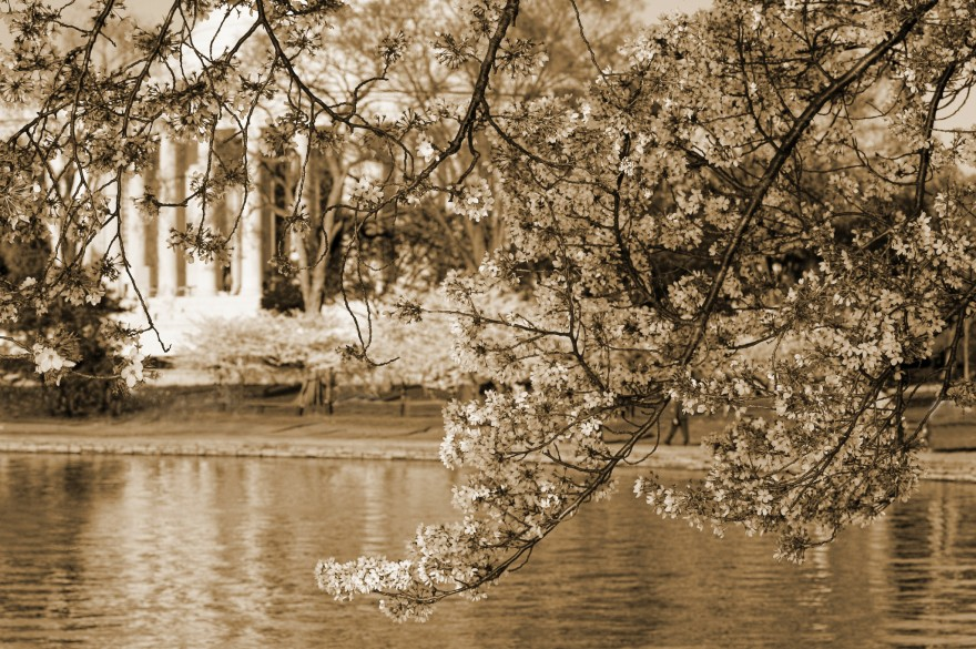 Cherry Blossoms | Sepia