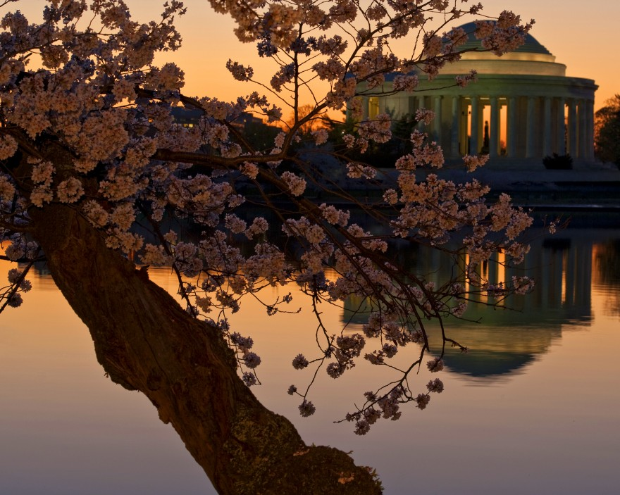 Cherry Blossoms and Jefferson | Sunrise