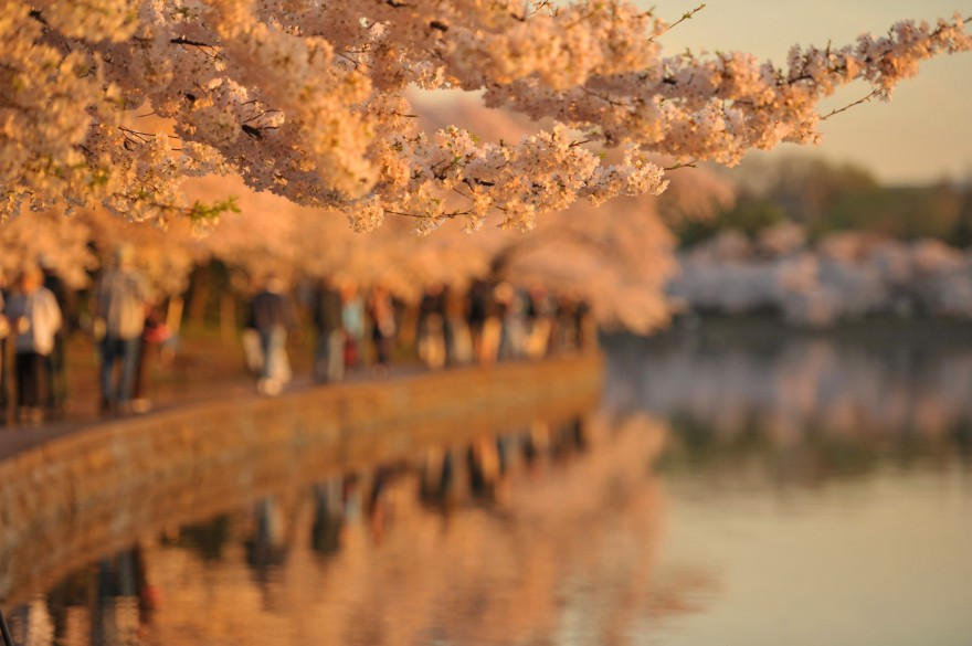 Cherry Blossoms and Tourists