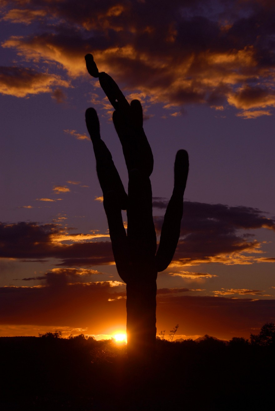 Saguaro Cactus at Sunset | Tucson